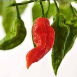 Bhut Jolokia Pimenta: 20 Sementes