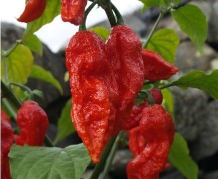 Comprar Pimenta Bhut Jolokia: 20 Sementes