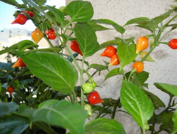 Pimenta Biquinho: 50 Sementes