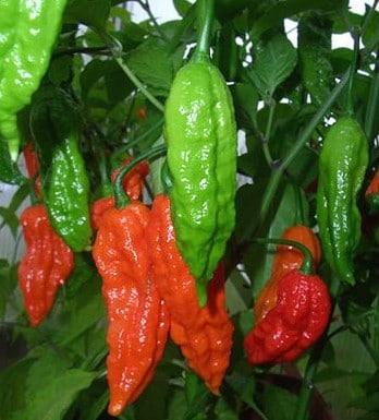 Sementes de Pimenta Bhut Jolokia 20 sementes