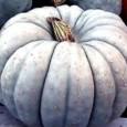 Compre Sementes Moranga Pataca Gigante