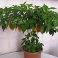 Comprar Orange Habanero Pimenta