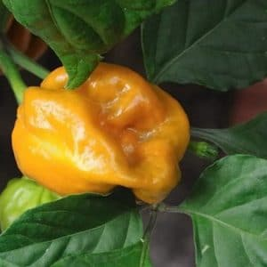 Comprar Orange Habanero Pimenta
