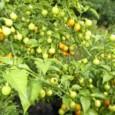 Pimenta Bode Amarela: 40 Sementes