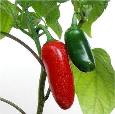 Pimenta Guaraciaba Jalapenho: 20 sementes