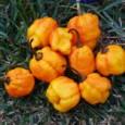Pimenta Jamaican Yellow: 20 sementes