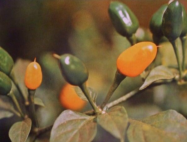 Pimenta Luna: 40 sementes