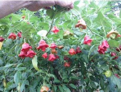 Sementes da Pimenta Cambuci