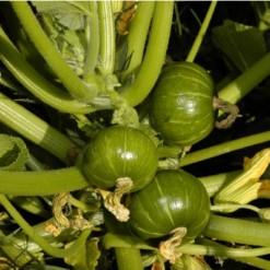 Sementes de Abóbora Redonda de Tronco (Zapallito)