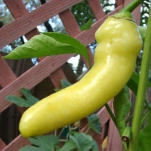 Comprar Sementes de Pimenta Banana Pepper