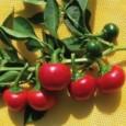 Sementes de Pimenta Satan's Kiss (Ciliegia Picante)