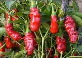 Comprar Sementes Online de Pimenta Peter Pepper