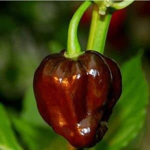 Sementes Pimenta Chocolate Habanero