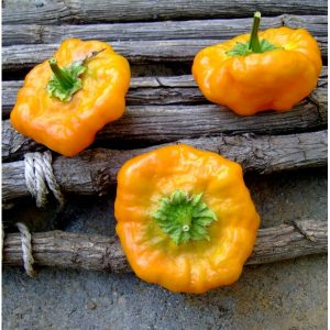 Sementes Pimenta Jamaican Yellow (Scotch Bonnet)