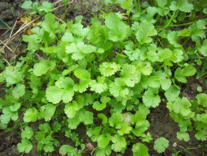 Tempero Coentro Verdão: 20 sementes