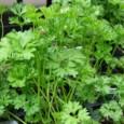 Tempero Salsa Lisa: 20 sementes