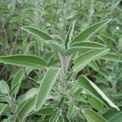 Tempero Sálvia: 20 sementes