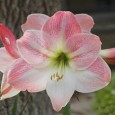 Amarilis Apple Blossum: 1 Bulbo