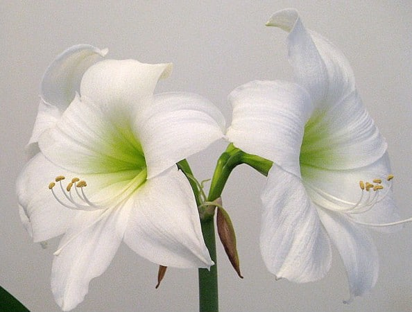 Amarilis Intokazie Branca: 1 Bulbo