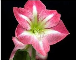 Amarilis Vera Rosa: 1 Bulbo