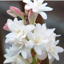 Angélica Flor: 6 Bulbos