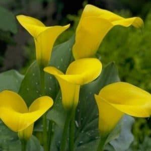 Copo de Leite Amarelo: 1 Bulbo