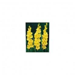 Gladíolo Amarelo: 5 Bulbos