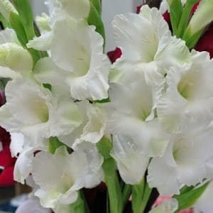 gladiolo-branco6