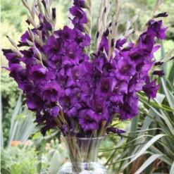 Gladíolo Púrpura: 5 Bulbos