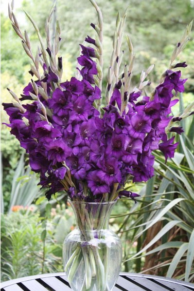 Gladíolo Púrpura (Purple Flora): 6 Bulbos - SoFlor Sementes