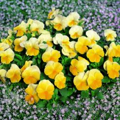 amor-amarelo-ult-beacon