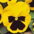 amor-perfeito-amarelo