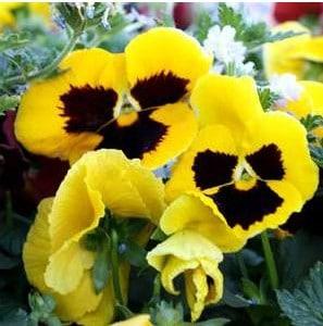 Comprar Amor Perfeito Amarelo Gigante Suíço: 15 Sementes