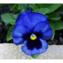 Comprar Amor Perfeito Azul Gigante Suíço: 15 Sementes