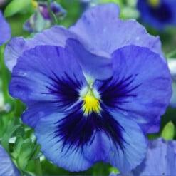 amor-perfeito-azul-gigante