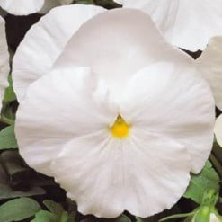 amor-perfeito-branco