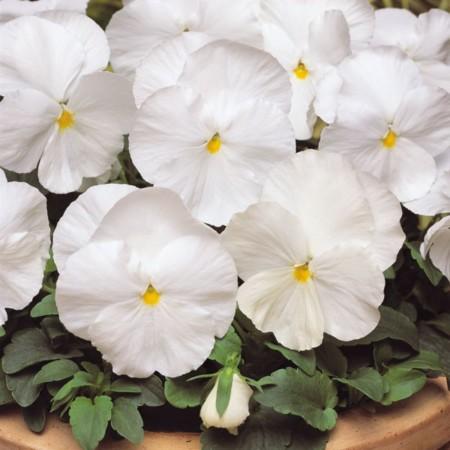 amor-perfeito-branco1