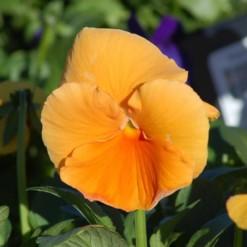 Comprar Amor Perfeito Laranja Gigante Suíço: 15 Sementes