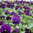 amor-purple-dinamite