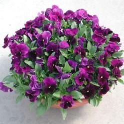 amor-purple-dinamite1