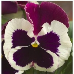 Pansy Dynamite Purple Rose and White Imp.-500x500