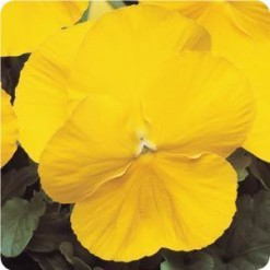 pansy matrix yellow