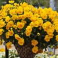 pansy_trailing_freefall_golden_yellow_3x4_22