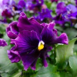 Comprar Semente Amor Perfeito Crespo Sortido: 15 Sementes