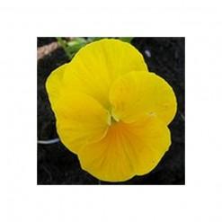 Comprar Sementes de Amor Perfeito Amarelo Crow: 15 Sementes