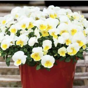 Comprar Sementes de Amor Perfeito Amarelo Ultimate: 15 Sementes