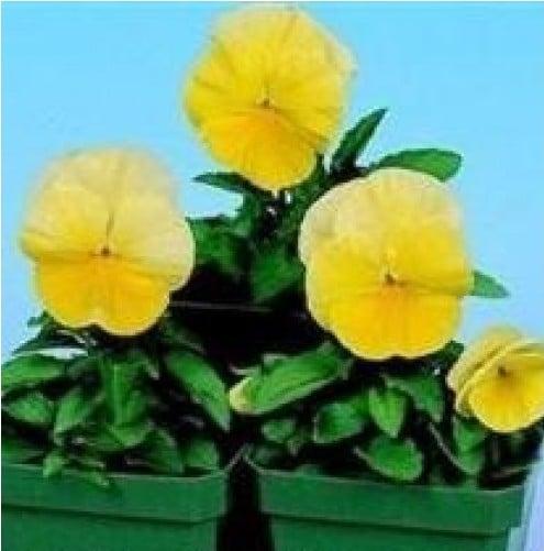 Comprar Sementes de Amor Perfeito Amarelo Ultimate Beacon: 15 Sementes