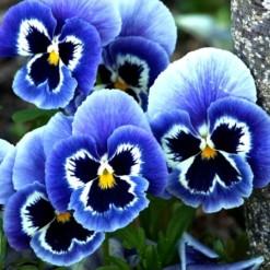 Sementes de Amor Perfeito Azul e Branco Dinamite Com Máscara
