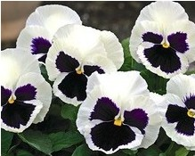 Comprar Sementes de Amor Perfeito Branco Dinamite: 15 Sementes