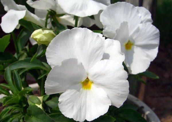 Comprar Sementes de Amor Perfeito Branco Gigante Suíço: 15 Sementes
